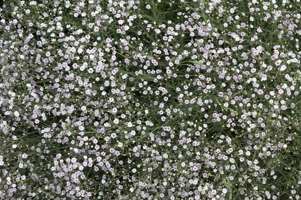 Tiny flowers: A border plant with tiny flowers growing in a garden in England.