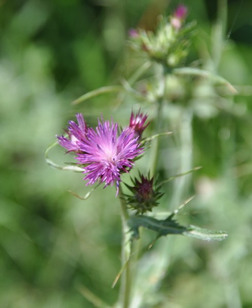 purple thistle 1