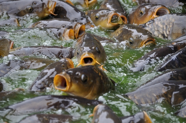 Lots of Carp 4: A lot of carp in the water