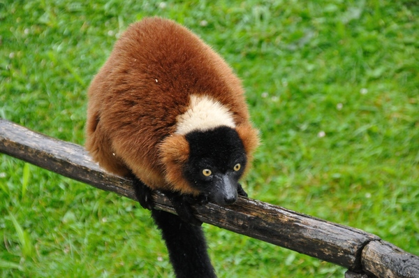 Red ruffed lemur 5: Red fuffed lemurs in the zoo