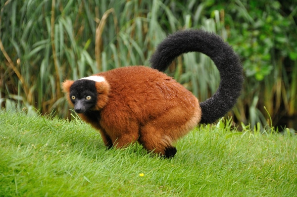 Red ruffed lemur 3