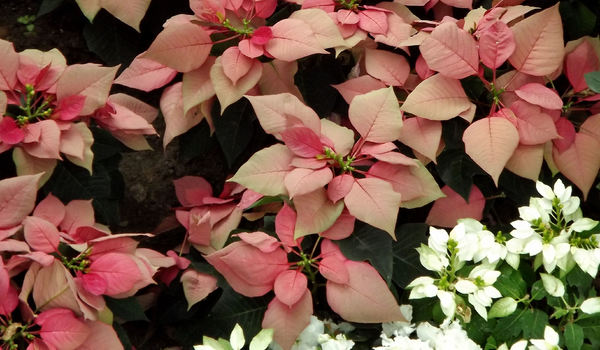 poinsettias variations3