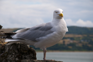 Seagull: A Seagull at Conwy Castle, Wales, UK.