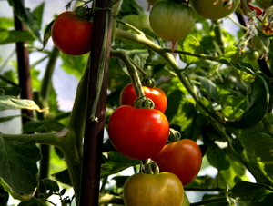 Tomatoes: Growing tomatoes