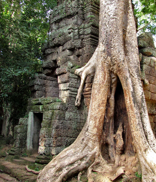temple trees5: giant spung trees encroaching on Angkor temple ruins at Ta Prohm