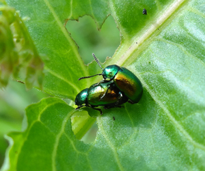 Mating beetles: Beetles mating on a leaf