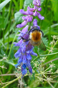 Bumblebee on purple flower: Bumblebee on purple flower (Vetch)