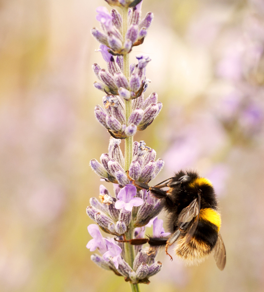 Bee on Lavender 3