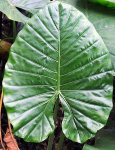 huge green leaf