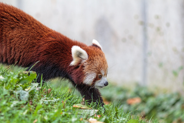 Red panda: A picture of a red panda in the zoo of Planckendael, Belgium