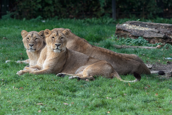 Lionesses looking to camera