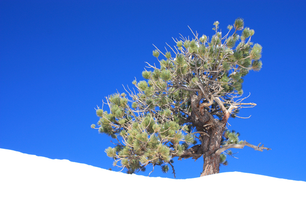 Small mountain pine tree 2