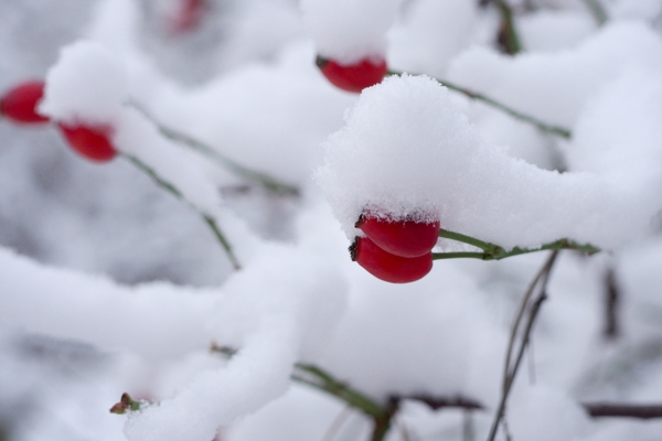 Red hips with snow