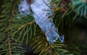 Pine Tree  Ice Crystal