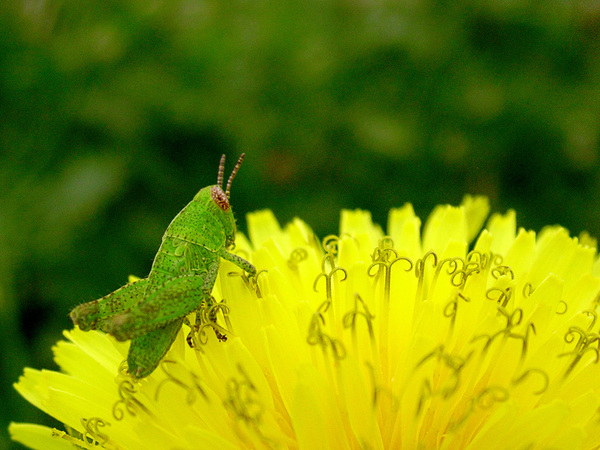 Grasshopper: Grasshopper on dandelion