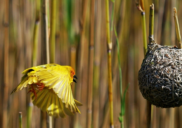 Yellow Finch/Weavers 2