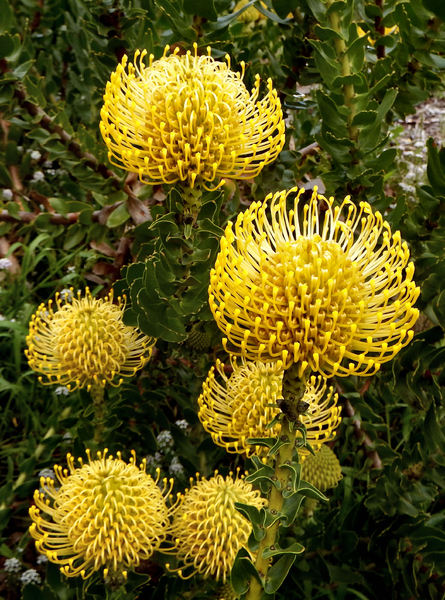 yellow pincushion colour2: the splendour of the yellow pincushion protea,  Leucospermum cordifolium, good for dried flower arrangements and more