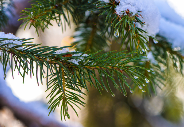 fir-tree branch: Pine Tree