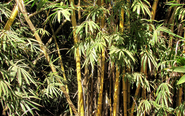 bamboo background1: clump of yellow bamboo