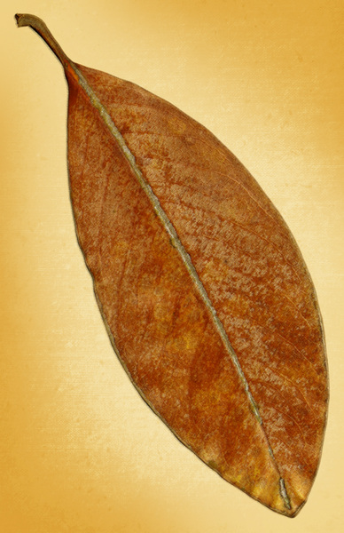 Leaf on Canvas