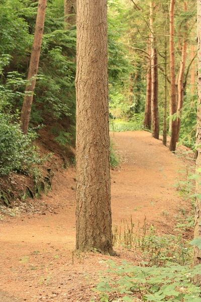 Forest path: Path snaking through trees in a pine forest