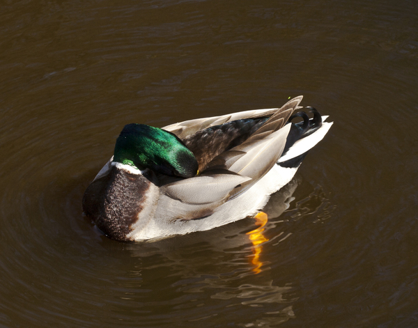 Dozing Duck: A duck sleeping while afloat.