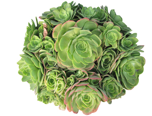 Green succulent: A green plant that do not need much water,isolated,cutout