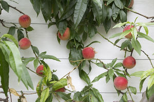 Peaches: Peaches (Prunus persica) growing in a greenhouse in England.