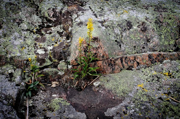modesty: Plant on a rock formation at Lake Vänern/Swew