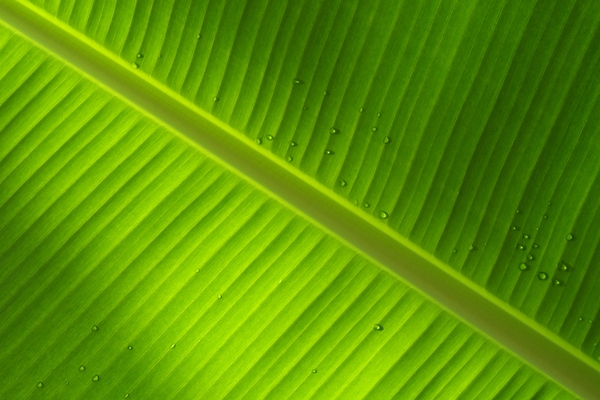 Banana leaf with drops: Leaf from banana palm with raindrops on the other side