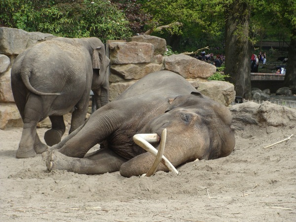 Resting Elephant 2: Sleeping or resting elephant in emmen Zoo