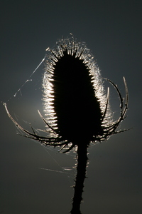 Teasel: Field thistle