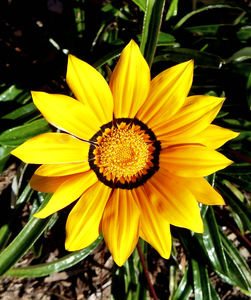 gazania colour15