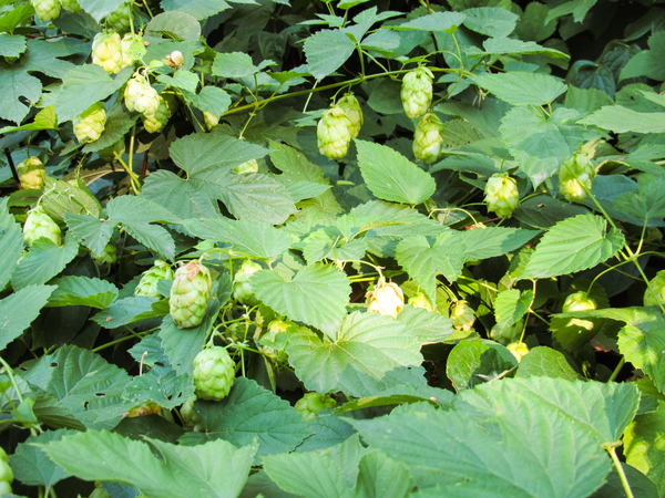 blooming hops plant
