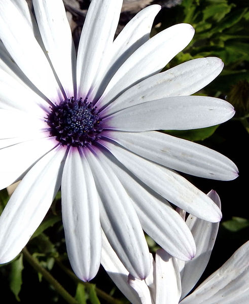 purple hearted daisy1: white purple-centred African daisies