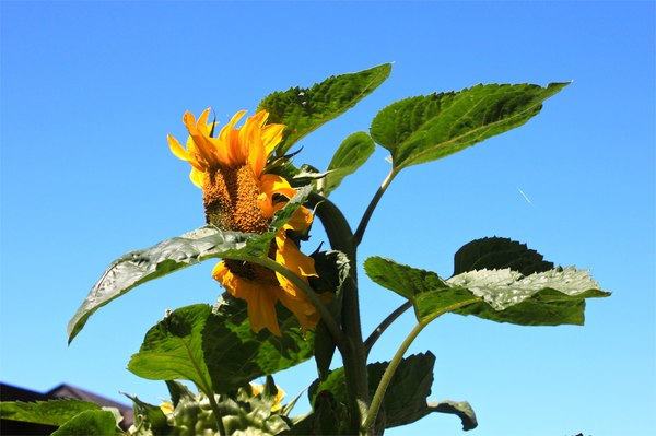 sun flower over blue sky