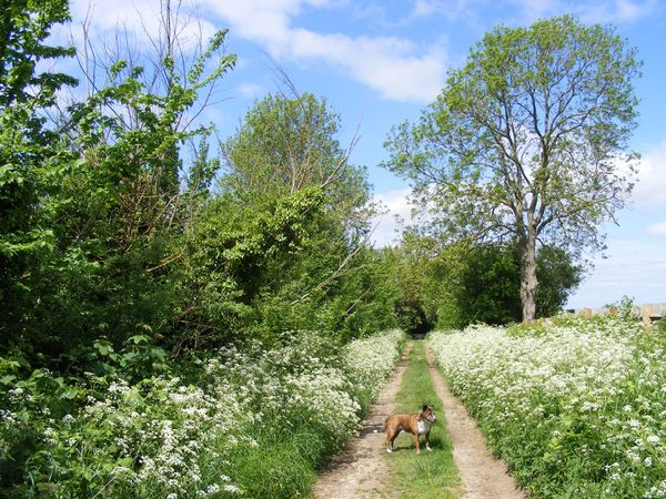 Queen Anne's Lace, Kale Lane: Kale Lane, Great Doddington, Northamptonshire, England in Spring