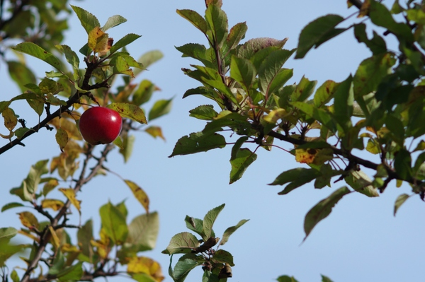 One red apple on the tree