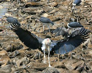 Vultures etc... 5: vultures and other birds of pray, feasting on the carcasses of dead wildebeasr during the annual migration to the Serengeti