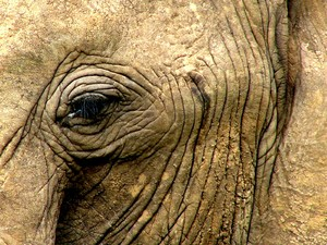 Elephant Eye: Dusty African Elephant's eye