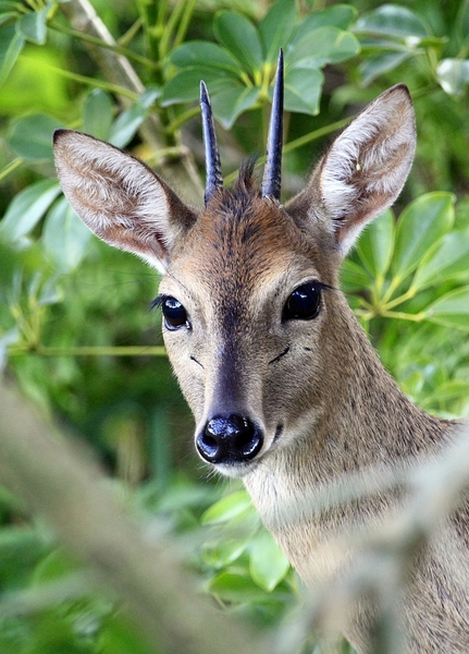 Grey Duiker: Small African antilope active and feeding late afternoons and early mornings