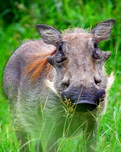 Warthog (Wart - hog) 1: Warthog - not to be confused with a bush pig.