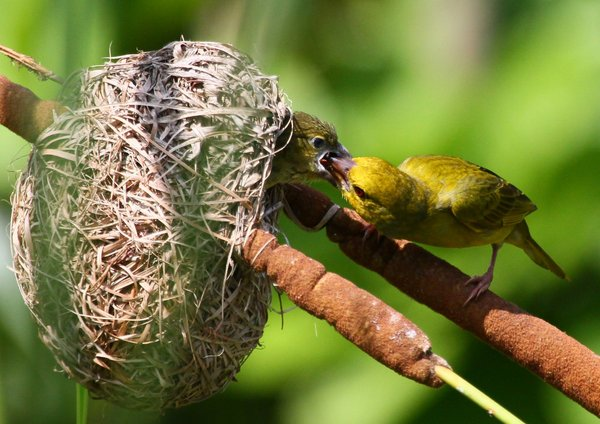 Yellow Weaver 4: various pictures of Yellow Weavers, also feeding the young