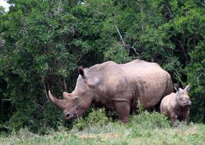 White Rhino 4: various White Rhino pictures. One with Massive horn, likely to be hunted & Killed for their horns