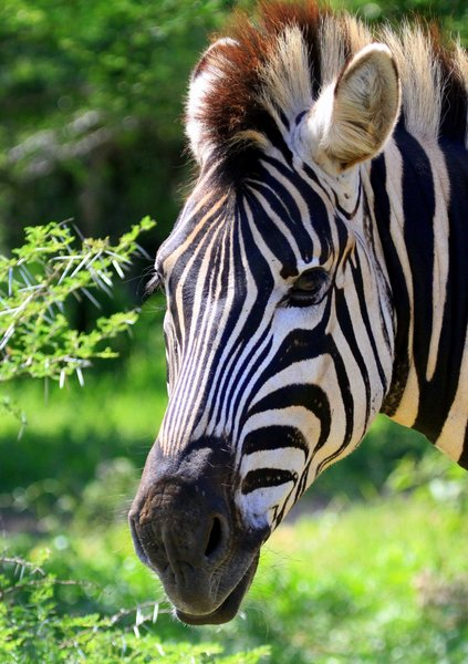 Zebra Mane 3: Zebra and Ox pecker pictures