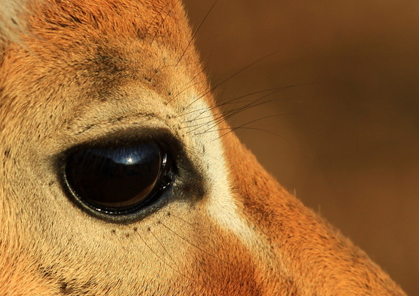 Impala Eye Close-up: Close-up of an Impala eye