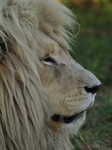 White Lion Male 2