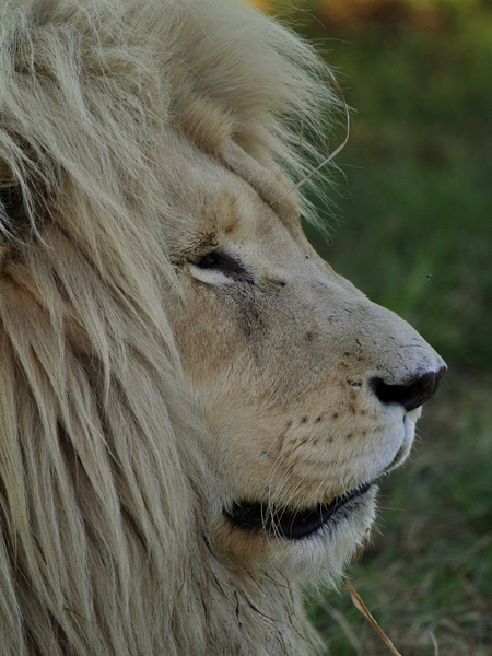 White Lion Male 2: