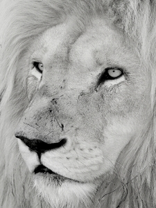 White Lion Close-ups 4