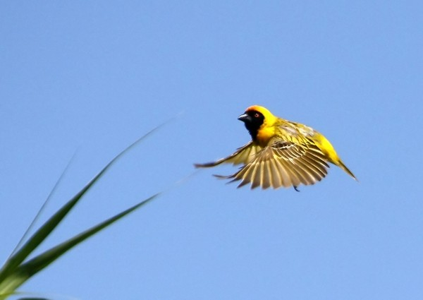 Yellow Weavers 1: build their nests in thorn trees to protect them from preditors and snakes
